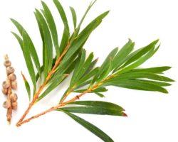 Tea-Tree-Essential-Oil-Melaleuca-alternifolia-Essential-Oil-ProductPic